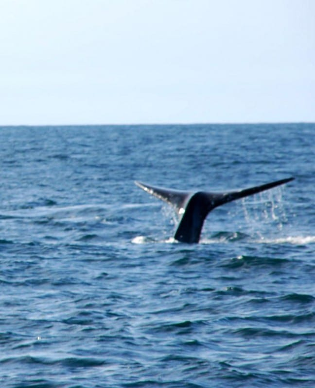 Gray whale showing his/her tail