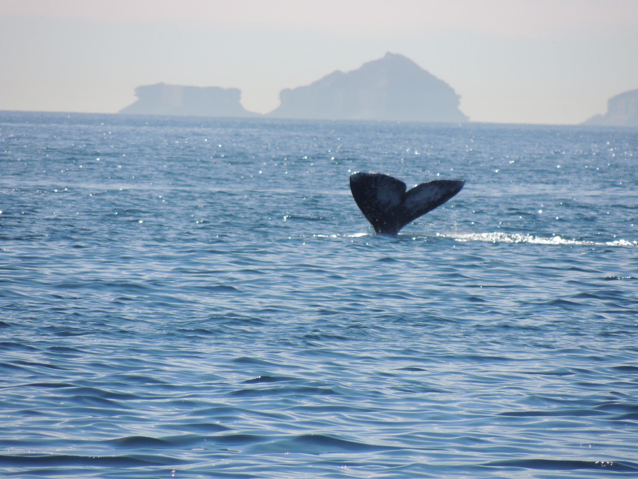 Whale Tail off the Coronado Islands