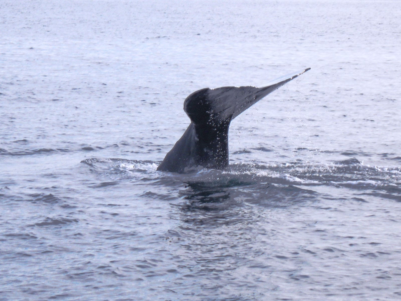 This was one large Gray whale.