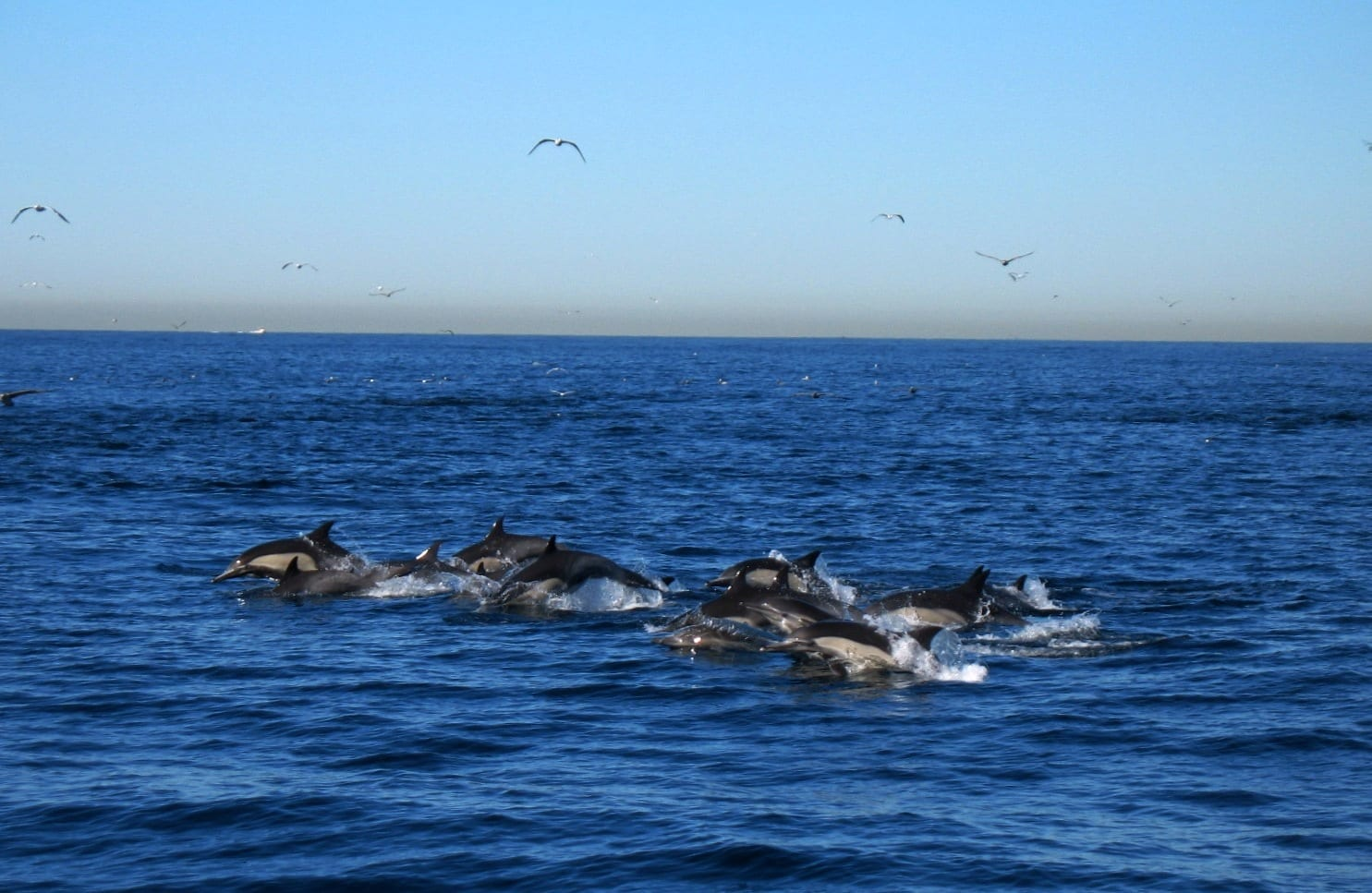 Pack Of Common Dolphins on the hunt