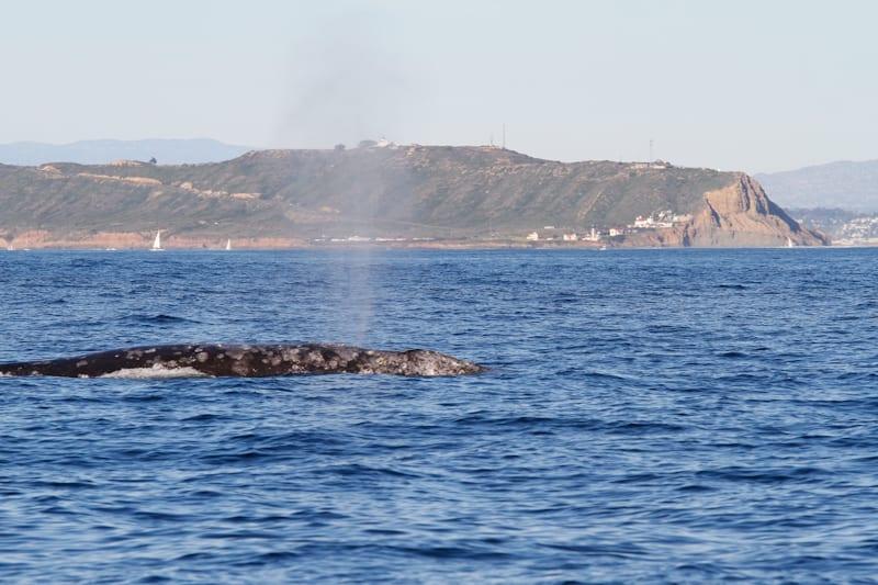 Loma whale